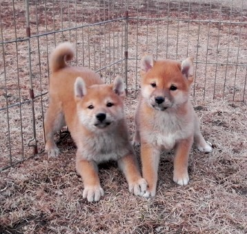 Shiba Inu Shiba Inu Puppies Home Raised Excellent Health Amp Temperments Black Red Creams