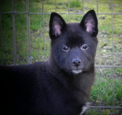 Shiba Inu Shiba Inu Puppies Home Raised Excellent Health Amp Temperments Black Red Creams